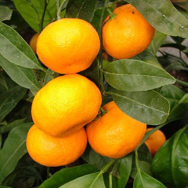 Citrus mandarin 'Silverhill'