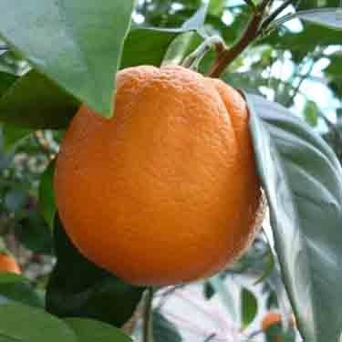 Citrus orange 'Fukumoto' Dwarf
