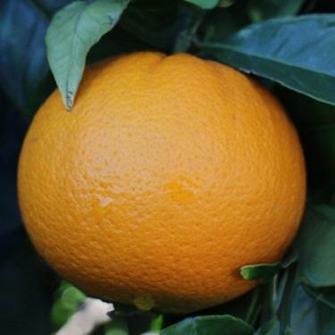 Citrus orange 'Navelina'
