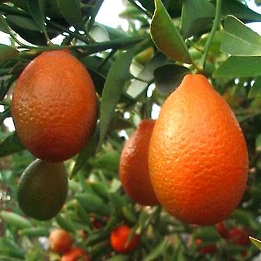 Citrus orangequat Dwarf