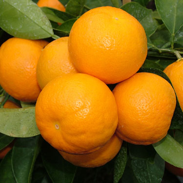 Citrus Tangelo 'Seminole'