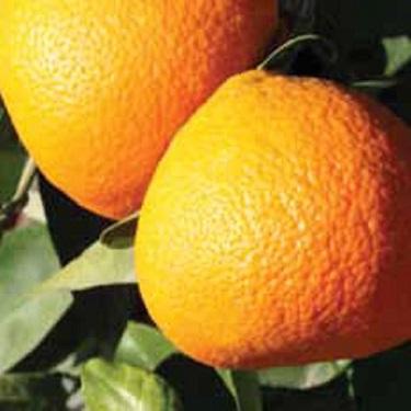 Citrus tangelo 'Bay Gold' dwarf