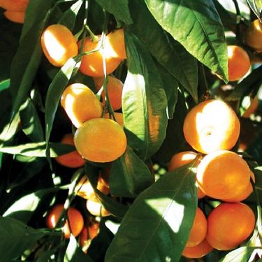 Citrus tangor 'Uglifruit'