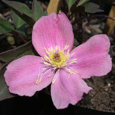 Clematis montana 'Tetrarose'