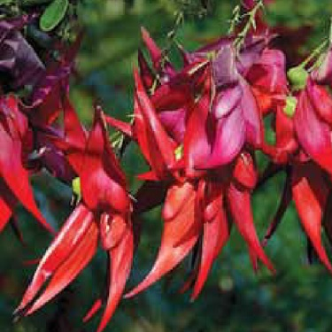 Clianthus 'Red Cardinal'