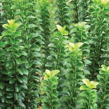 Euonymus 'Green Spire'