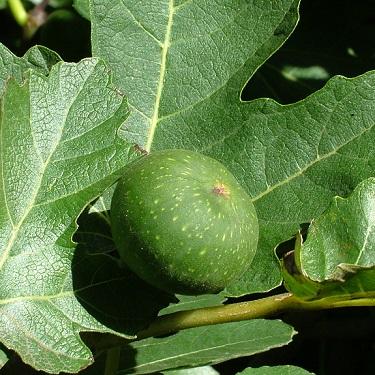 Ficus 'Ventura'