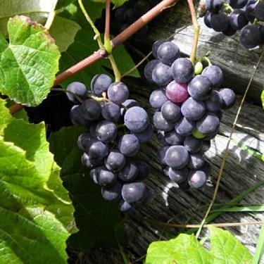 Grape 'Albany Surprise'