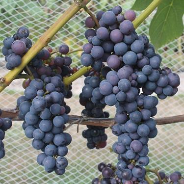 Grape 'Schuyler'
