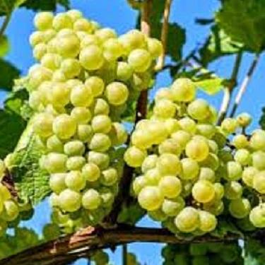 Grape 'White Diamond'