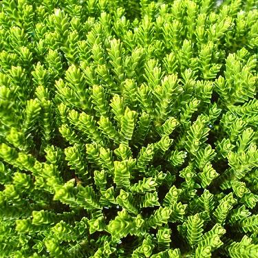 Hebe 'Emerald Green'