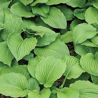 Hosta plantaginea 'Grandiflora'