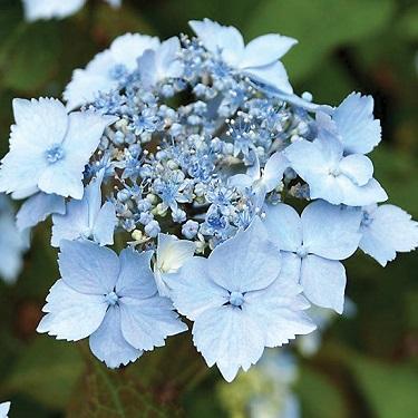 Hydrangea 'Blue Deckle'