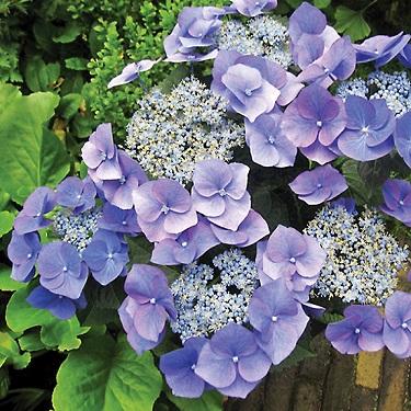 Hydrangea 'Blue Meise'