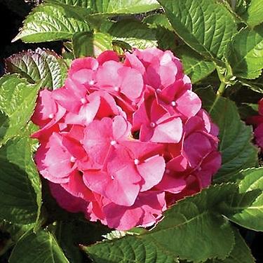Hydrangea 'Masja'