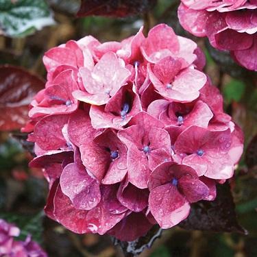 Hydrangea 'Merveille Sanguine'