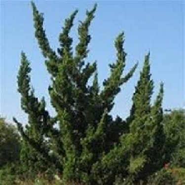 Juniperus 'Kaizuka'