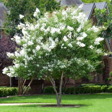Lagerstroemia faurieri 'Townhouse'