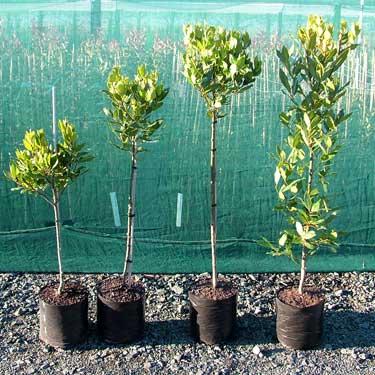 Laurus nobilis 1.2m Std