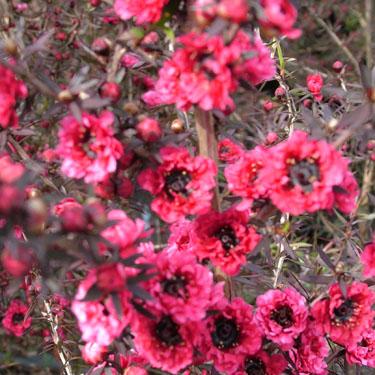 Leptospermum 'Burgundy Queen'