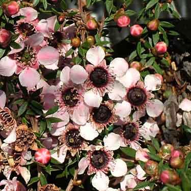 Leptospermum nanum 'Tui'