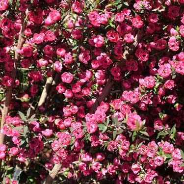Leptospermum 'Wiri Joan'