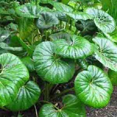 Ligularia reniformis