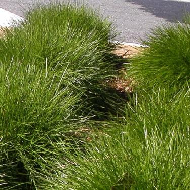 Lomandra 'Echidna Grass'
