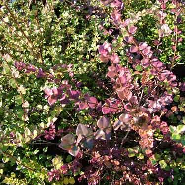 Lonicera nitida 'Honey Hedge Ruby'