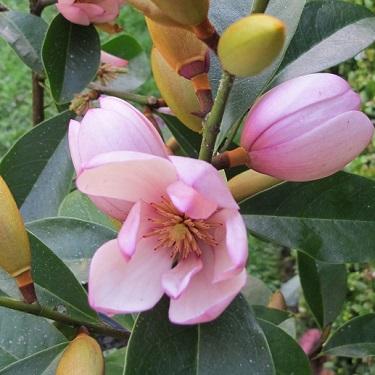 Magnolia 'Fairy Blush'