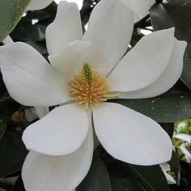 Magnolia 'Fairy White'