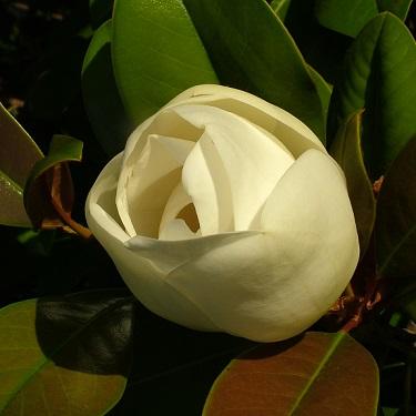 Magnolia grand. 'Ferruginea'