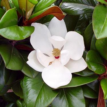 Magnolia grand. 'Teddy Bear'