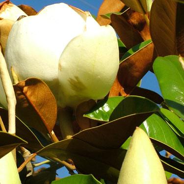Magnolia grand. 'Little Gem'