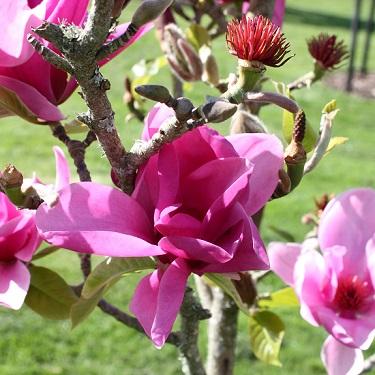 Magnolia dec 'Royal Purple'