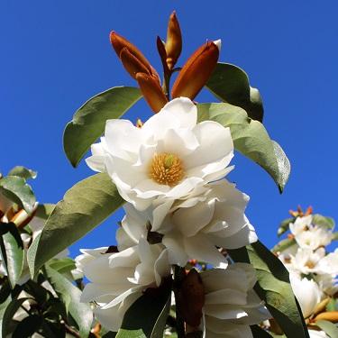 Michelia 'Royal White'