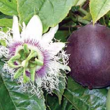 Passionfruit 'Black'