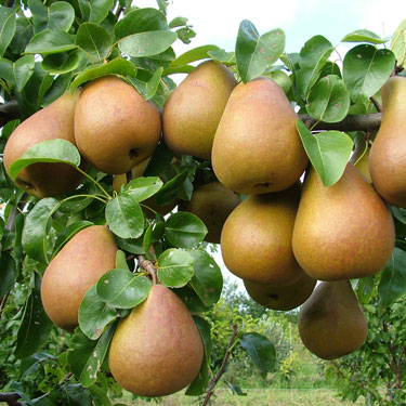 Pear 'Beurre Hardy'