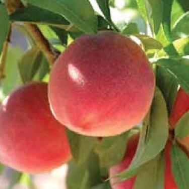 Peach 'Bonanza' 60cm Std