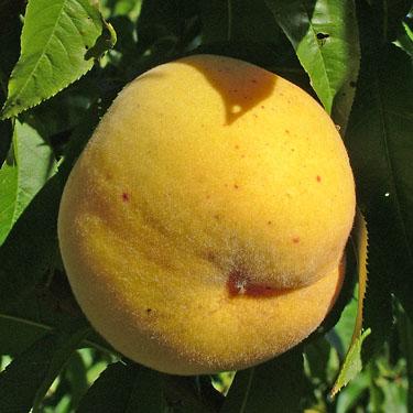 Peach 'Golden Queen'