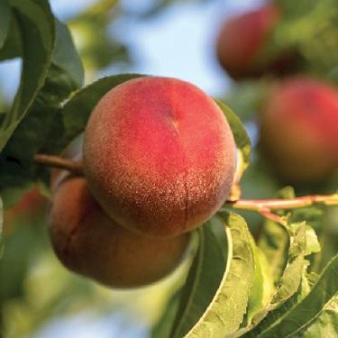 Peach 'Pix Zee' 60cm std