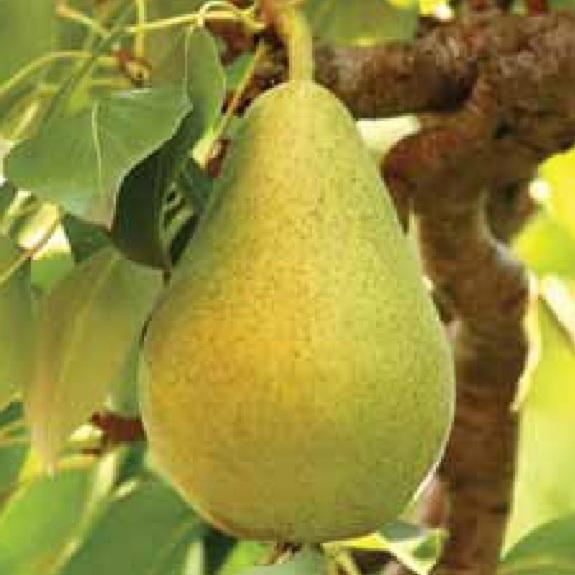 Pear 'Belle du Jumet'