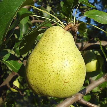 Pear 'Doyenne du Comice'