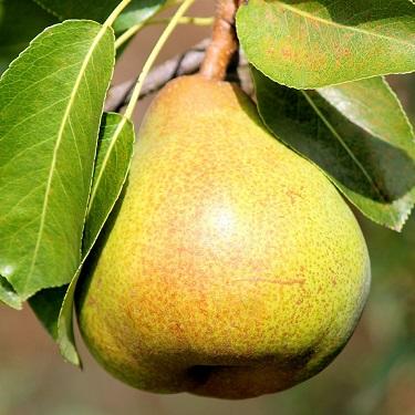 Pear 'Garden Wonder'
