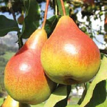 Pear 'Morettini Early'