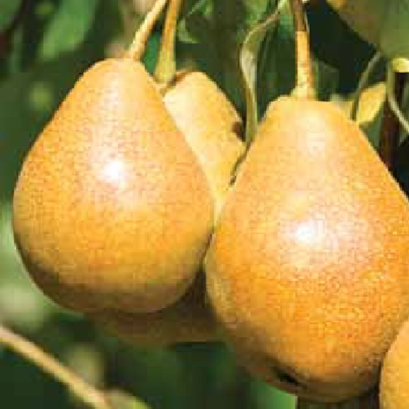 Pear 'Taylors Gold'