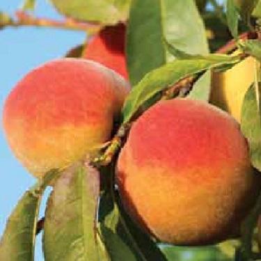 Peach 'Sweet Perfection'