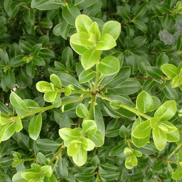 Pittosporum 'Mountain Green'
