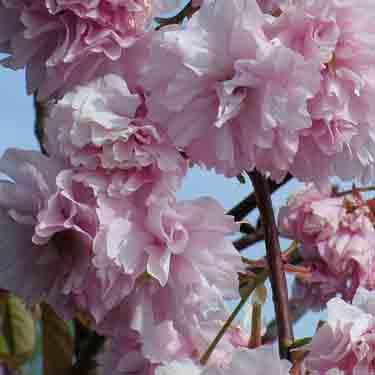 Prunus 'Kanzan' 1.2m Std