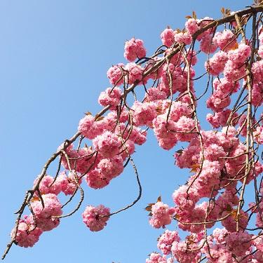 Prunus 'Shidare Sakura' 1.8m Std
